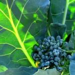broccolileaf-150x150